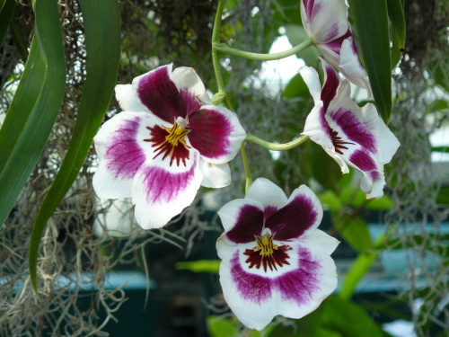 pansy_orchid.jpg
